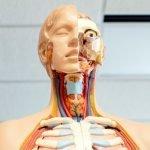 An anatomical model