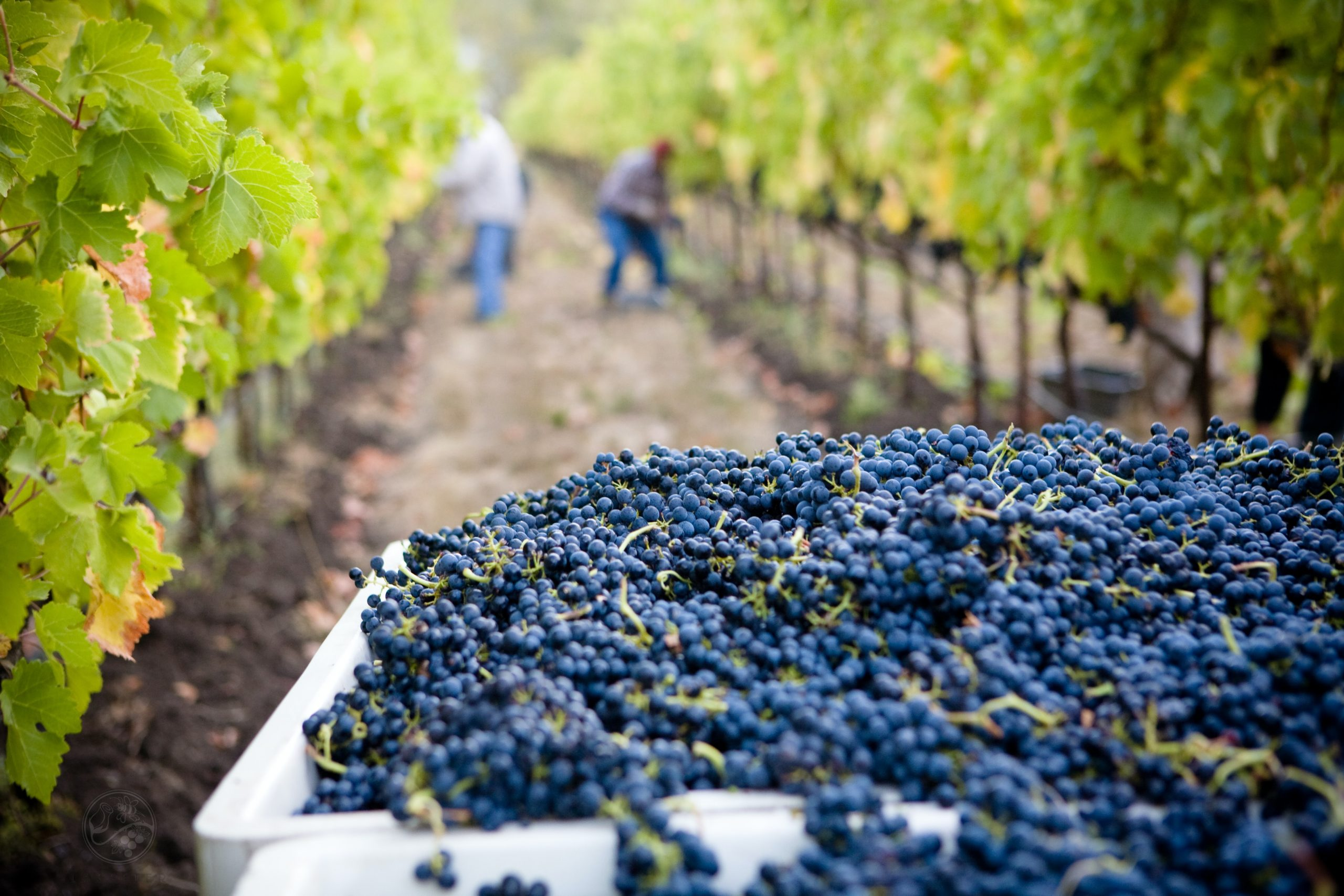 A photo of grapes in a vineyard.